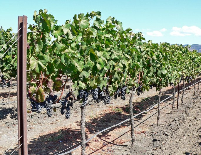 Napa_Valley_grapevines_1
